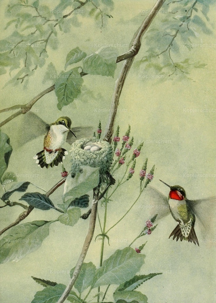Fuertes_ L.A. (1874-1927) - Birds of Massachusetts 1925 - Ruby-throated Hummingbird