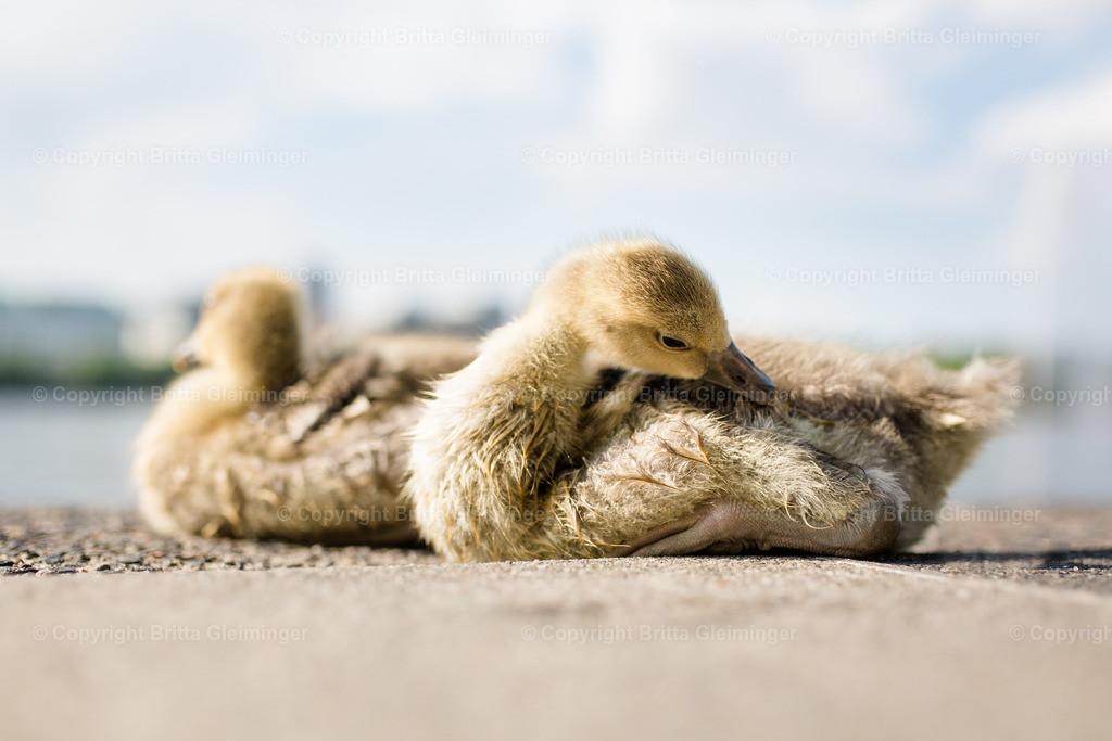 Gänseküken 1 | Am Ballindamm an der Binnenalster in Hamburg tummeln sich Schwäne, Gänse, Enten und viele andere Vögel. Diese süßen kleinen Gänsebabies haben sich in der Sonne gewärmt.