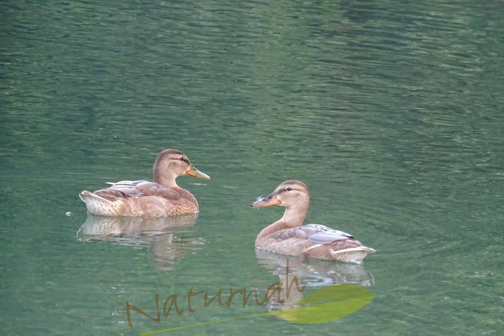 Federschnabel | Die winzige Feder auf dem Schnabel der Ente lädt ein, den Zauber des Augenblicks zu genießen.