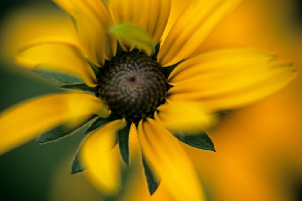 Gelbe Blüte einer Rudbeckia (Sonnenhut) | Best. Nr. sonnenhut002