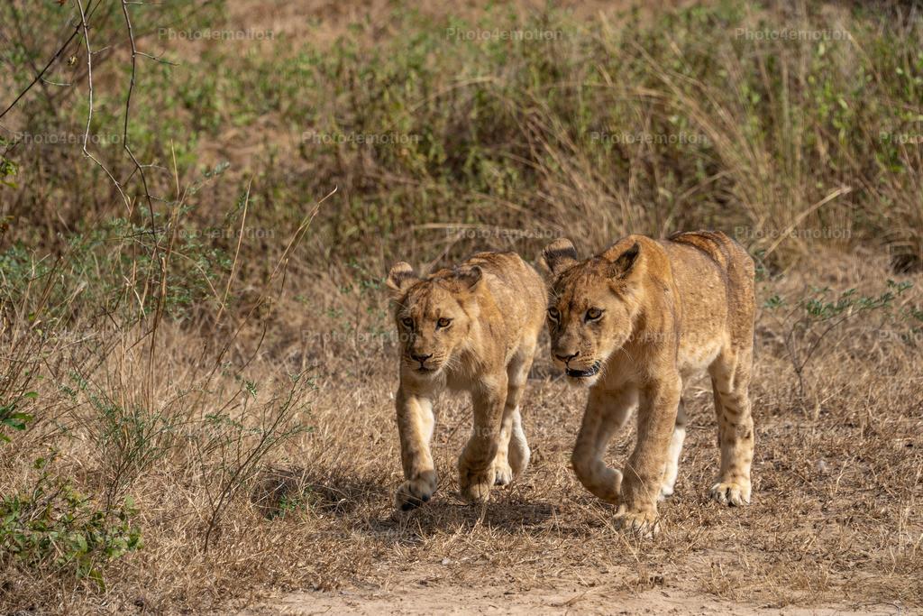 """GRO04899   South Luangwa und Lower Sambesi Nationalparks zählen zu den grossartigsten Nationalparks Afrikas und sind ein unbestrittenes """"MUST"""" für Tier- und Naturliebhaber während einer Sambia-Reise!"""