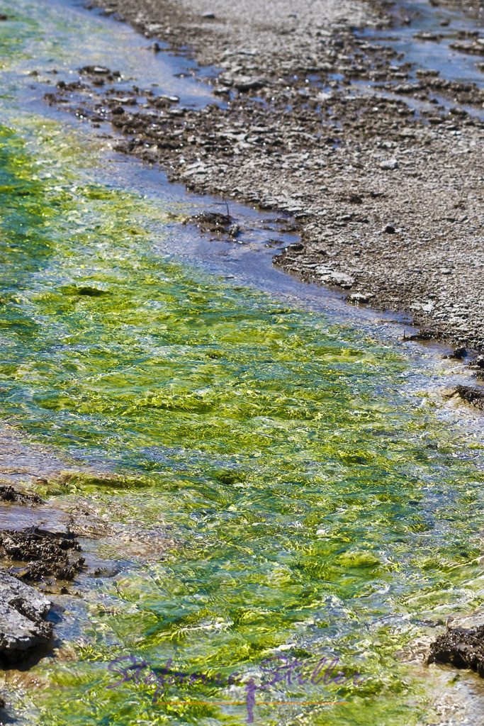 Grüner Bakterienteppich