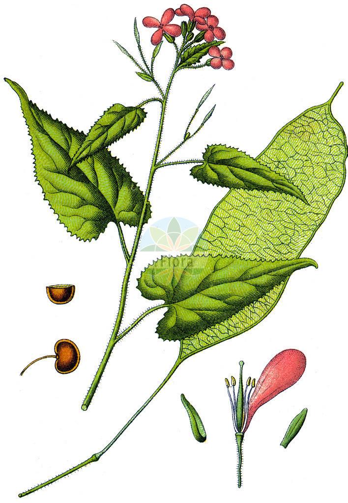 Lunaria rediviva (Ausdauerndes Silberblatt - Perennial Honesty) | Historische Abbildung von Lunaria rediviva (Ausdauerndes Silberblatt - Perennial Honesty). Das Bild zeigt Blatt, Bluete, Frucht und Same. ---- Historical Drawing of Lunaria rediviva (Ausdauerndes Silberblatt - Perennial Honesty).The image is showing leaf, flower, fruit and seed.