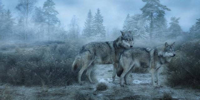 Wölfe im Nebel