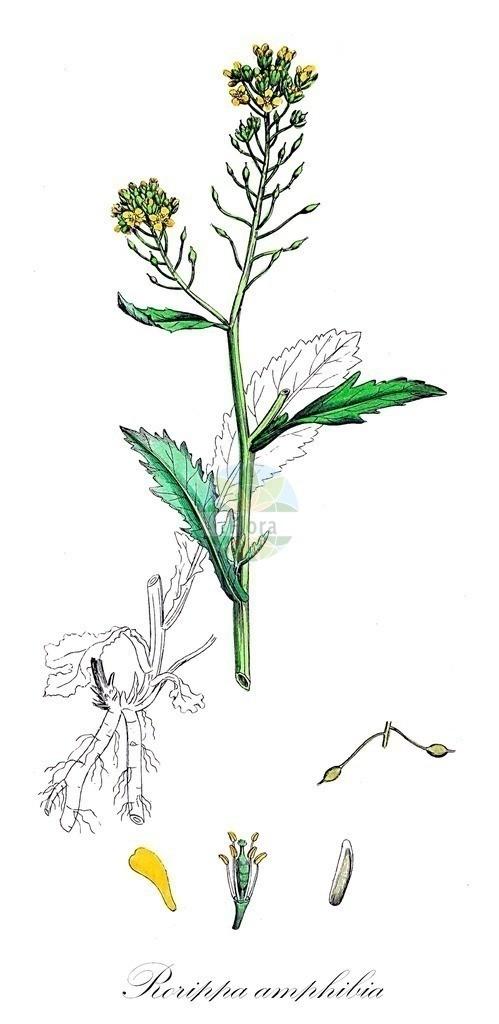 Historical drawing of Rorippa amphibia (Great Yellow-cress) | Historical drawing of Rorippa amphibia (Great Yellow-cress) showing leaf, flower, fruit, seed