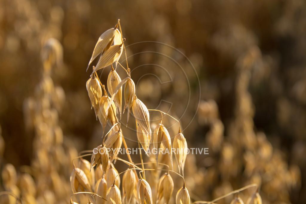 20130801-_MG_8410 | reife Haferpflanzen - AGRARMOTIVE Bilder aus der Landwirtschaft