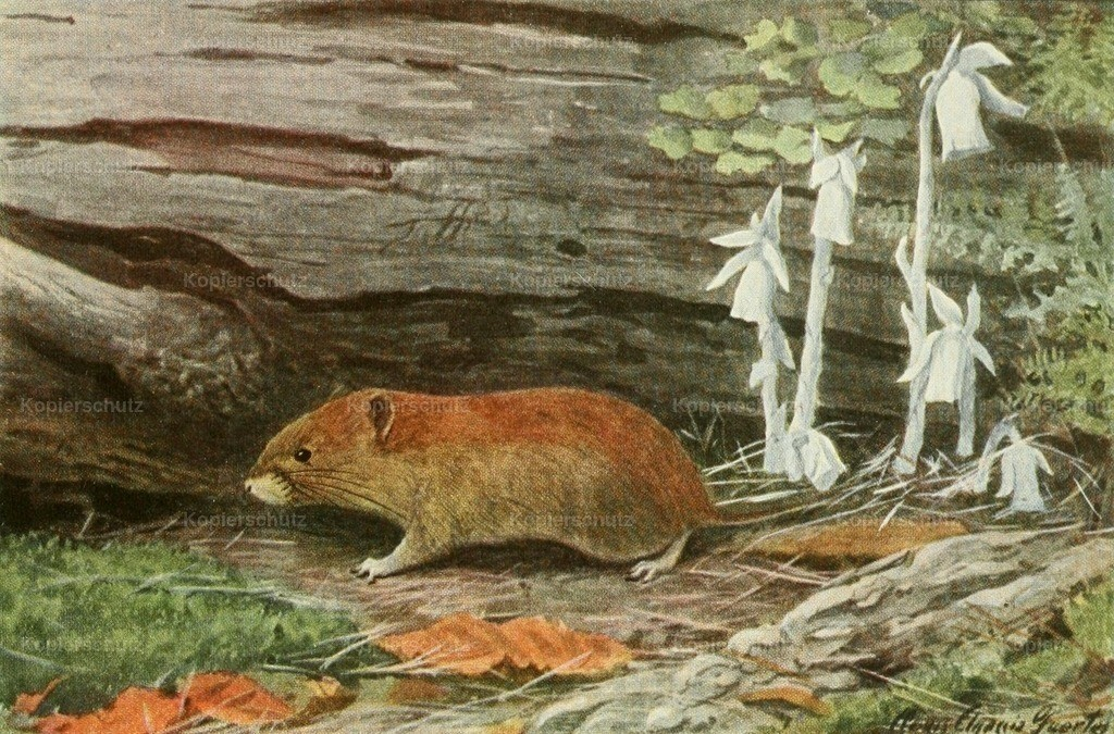 Fuertes_ L.A. (1874-1927) - Wild Animals of N. America 1918 - Red-backed Mouse