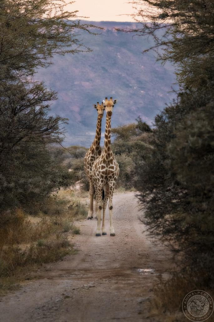 Giraffen im Gegenverkehr