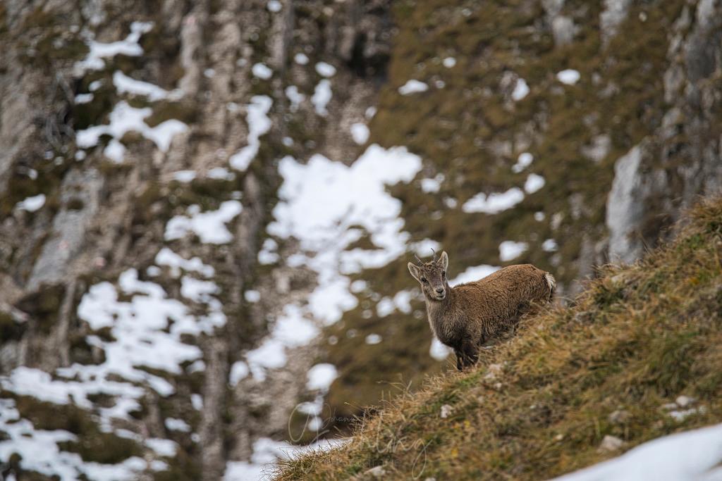 Junger Steinbock | Junger Steinbock auf Grashang im Karwendelgebirge