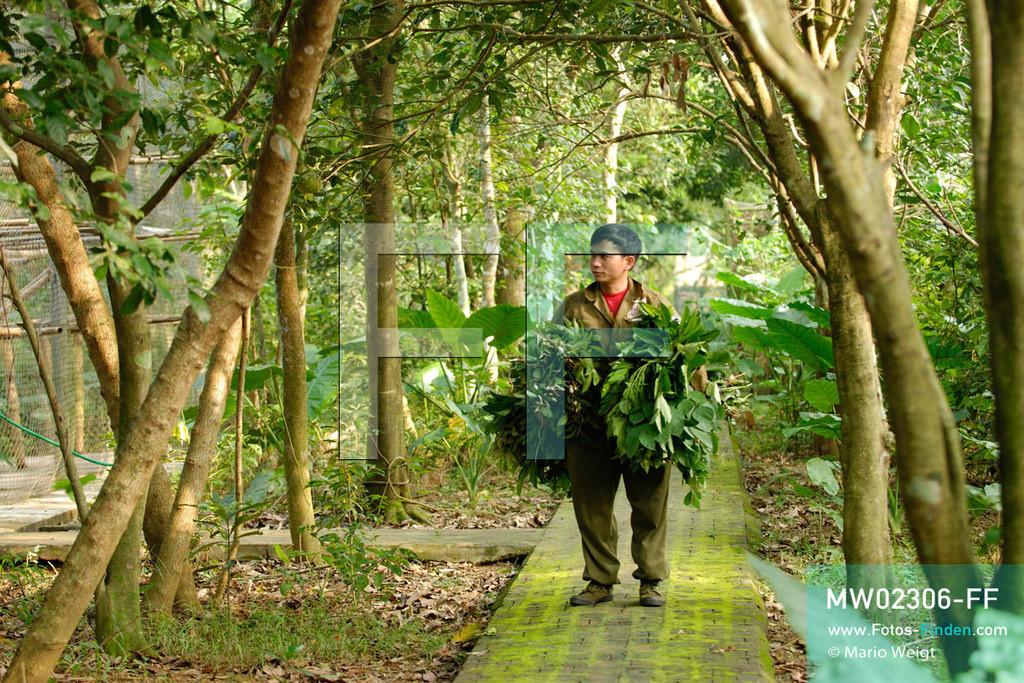 MW02306-FF   Vietnam   Provinz Ninh Binh   Reportage: Endangered Primate Rescue Center   Tierpfleger bringt spezielle Blätter für die Languren. Der Deutsche Tilo Nadler leitet das Rettungszentrum für gefährdete Primaten im Cuc-Phuong-Nationalpark.   ** Feindaten bitte anfragen bei Mario Weigt Photography, info@asia-stories.com **