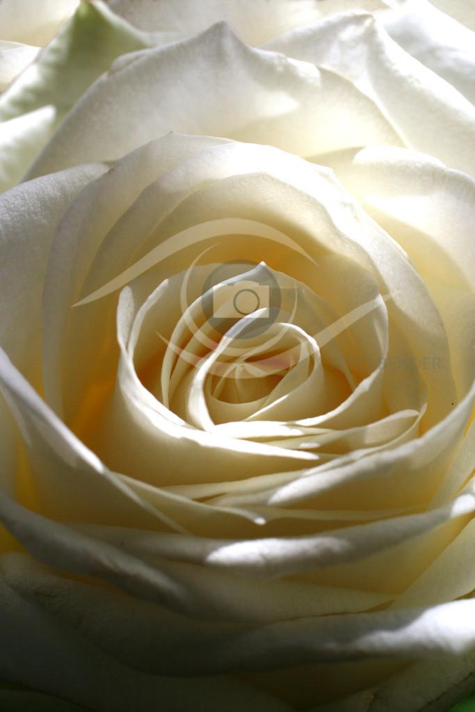 Weiße Rose 01