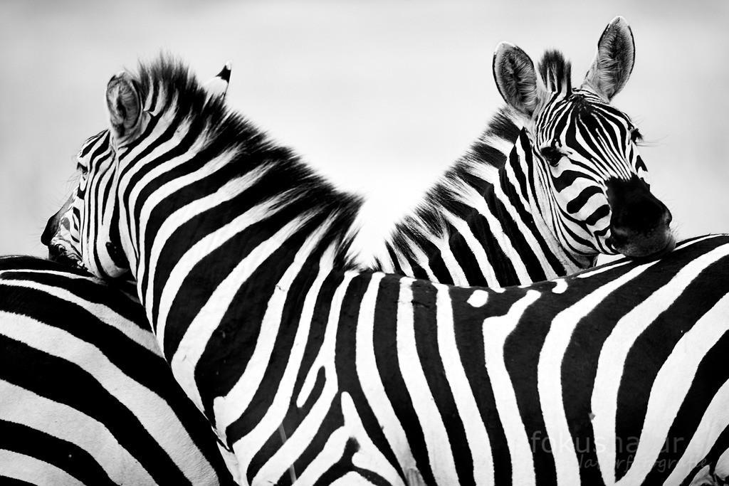 Zwei Zebras | Zwei Zebras kommen sich näher und legen die Köpfe aufeinander.
