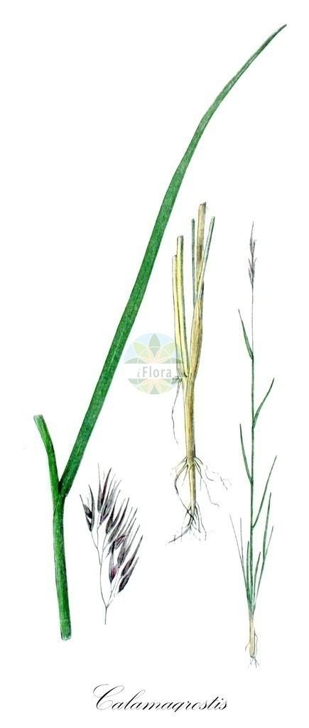 Historical drawing of Calamagrostis pseudophragmites (Bluejoint) | Historical drawing of Calamagrostis pseudophragmites (Bluejoint) showing leaf, flower, fruit, seed