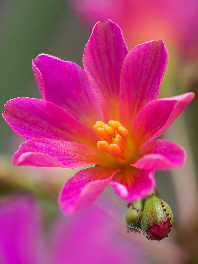Bitterwurz - Lewisia   Rosa Blüte eines Bitterwurz (Lewisia).