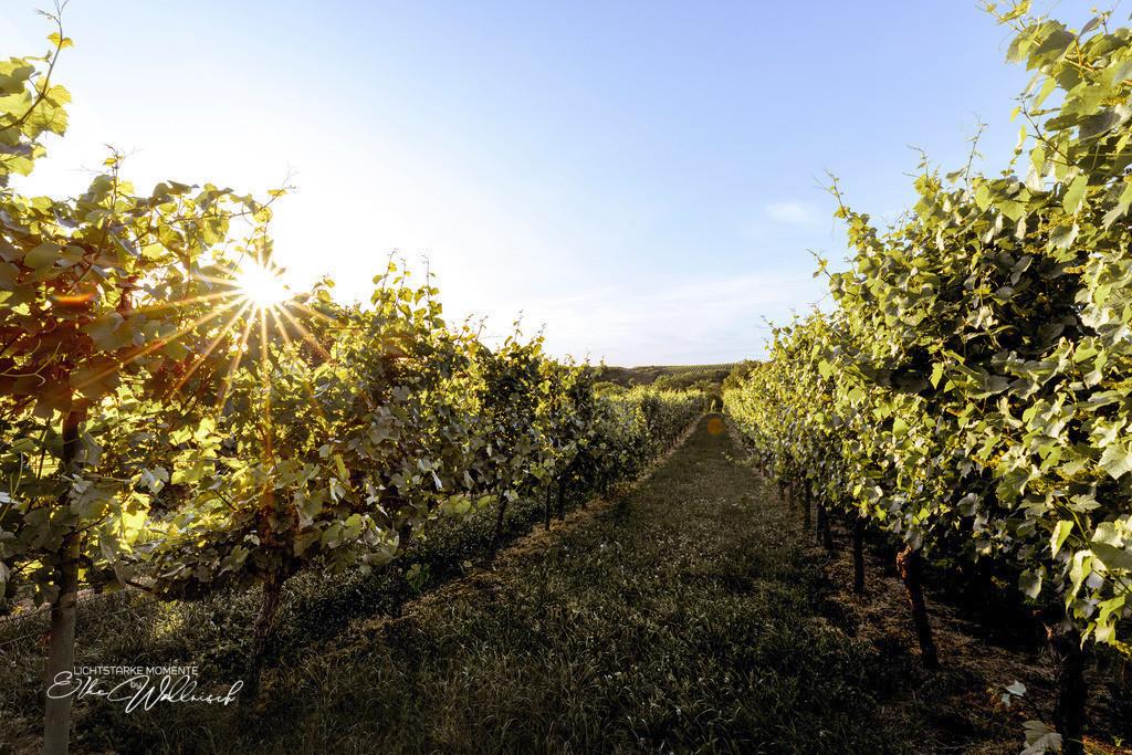 zwischen den Reben | Rauenberg - ein Abend im Weinberg