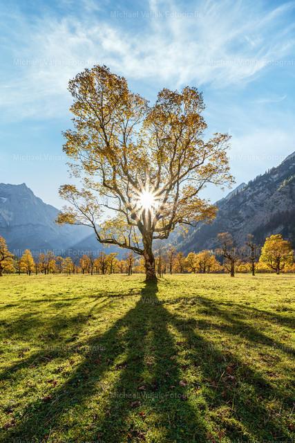 Herbst am Großen Ahornboden  | Nur wenige Tage dauert der Herbst im Engtal bei Hinterriß in Österreich. Sobald es nachts kalt wird und der erste Frost kommt, färben sich die Blätter und kurze Zeit darauf fallen sie bereits ab.