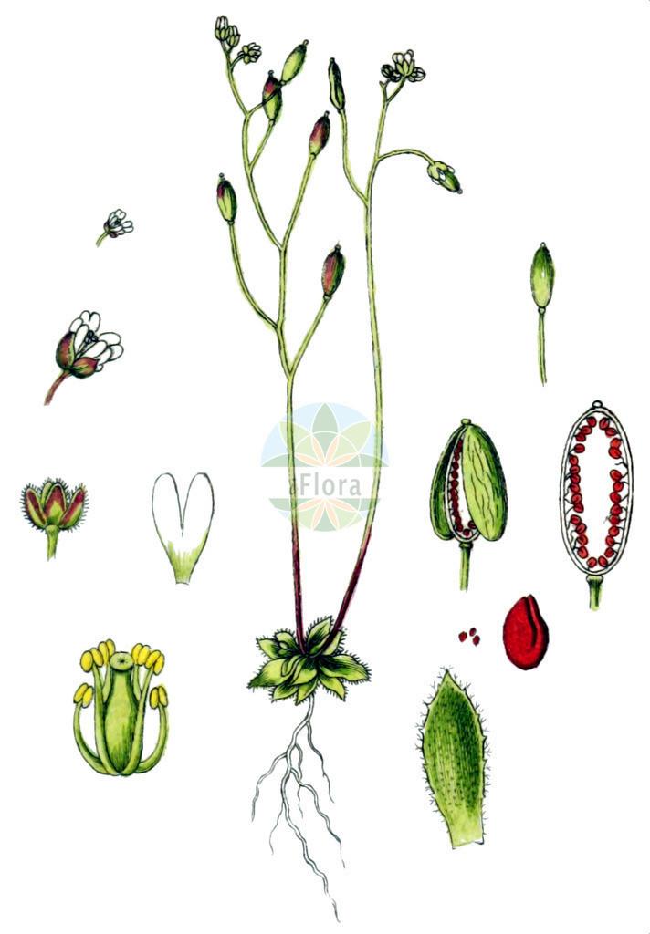 Erophila verna (Fruehlings-Hungerbluemchen - Common Whitlowgrass) | Historische Abbildung von Erophila verna (Fruehlings-Hungerbluemchen - Common Whitlowgrass). Das Bild zeigt Blatt, Bluete, Frucht und Same. ---- Historical Drawing of Erophila verna (Fruehlings-Hungerbluemchen - Common Whitlowgrass).The image is showing leaf, flower, fruit and seed.