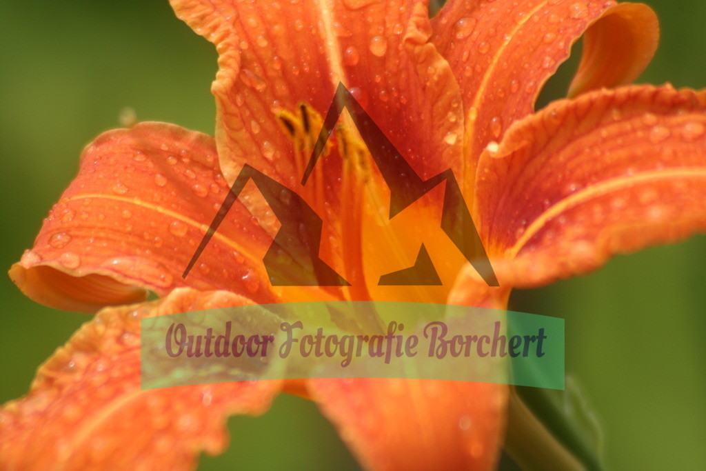 IMG_6708 | Feuerlilie