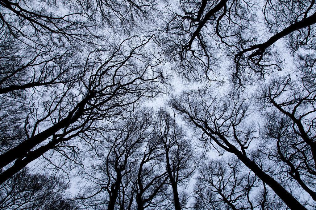 JT-161226-032   Baumkronen, Buchenwald, ohne Blätter im Winter,