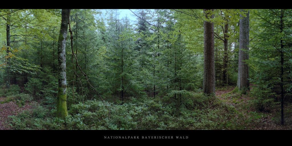 Nationalpark Bayerischer Wald   Bergfichtenwald im Nationalpark und Mittelgebirge Bayerischer Wald
