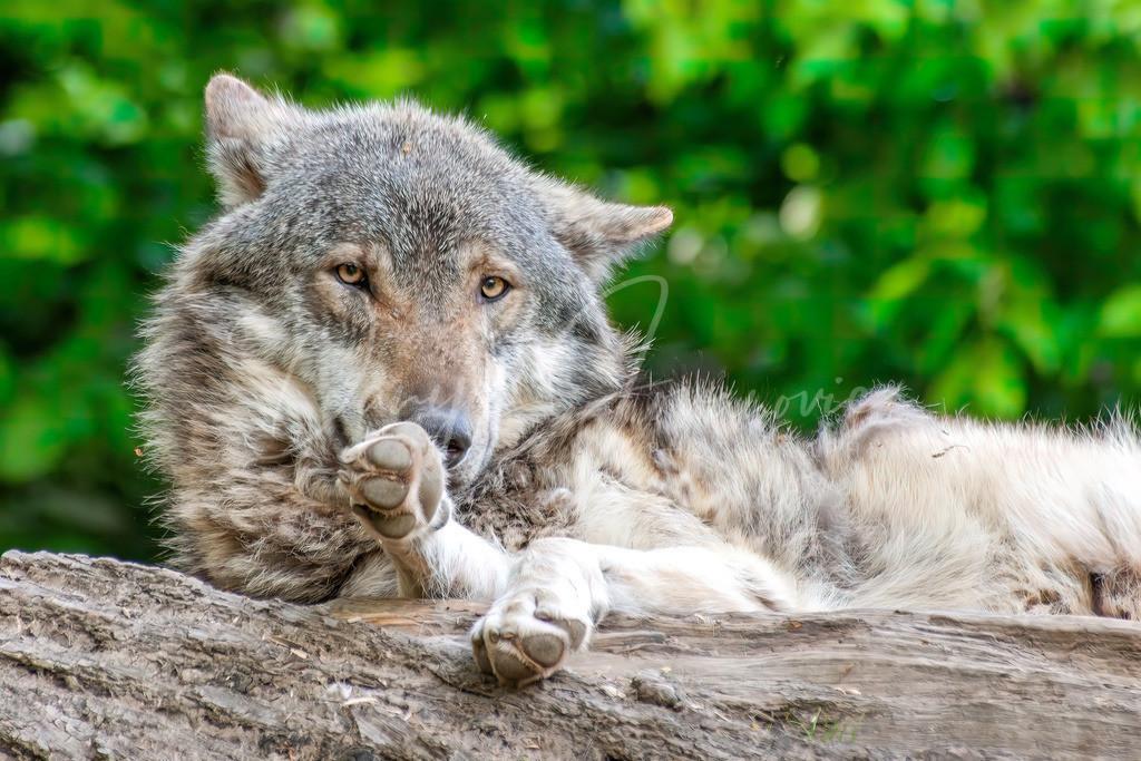 Wolf | Wolf im Alpenzoo Innsbruck
