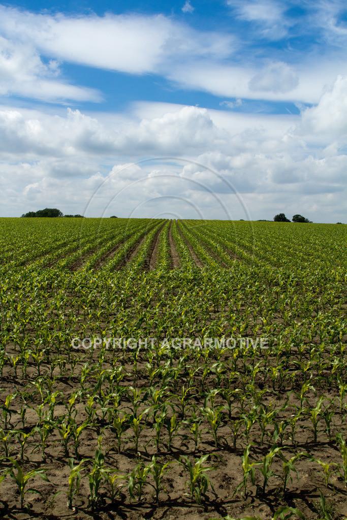 20120607-_MG_3586   heranwachsender Maisbestand im Sommer