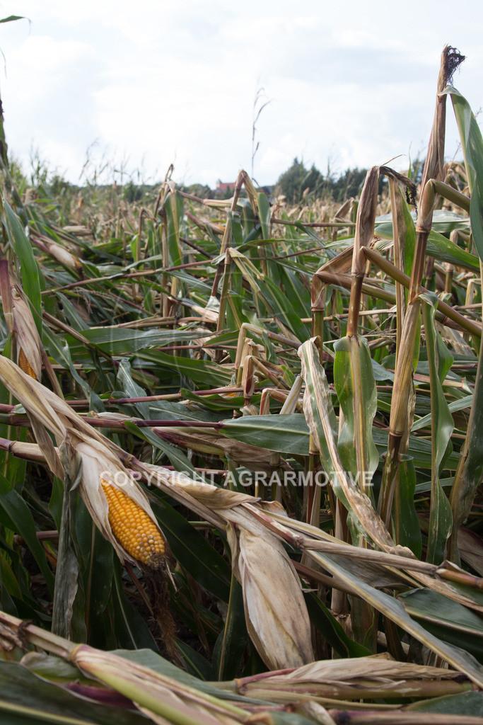 20170917-IMG_1139 | Ernteschaden im Mais durch Herbssturm