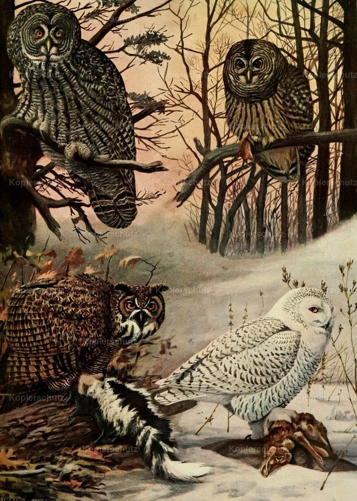 Fuertes_ L.A. (1874-1927) - Birds of Massachusetts 1925 - Snowy Owl et al