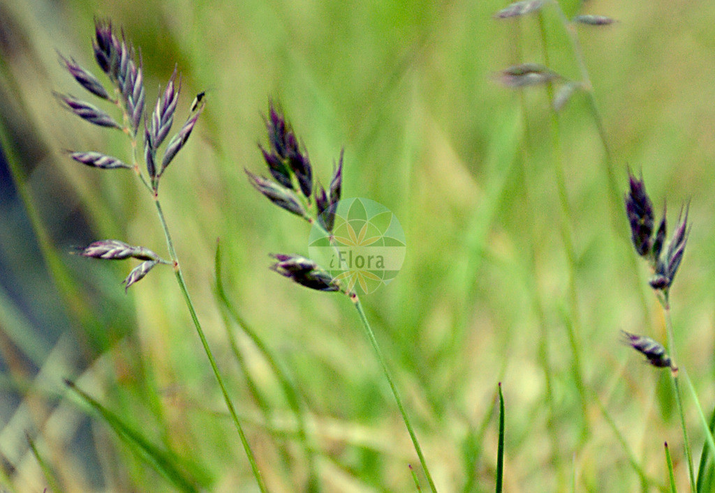Festuca melanopsis (Dunkelvioletter Schwingel - Darkviolet Fescue) | Foto von Festuca melanopsis (Dunkelvioletter Schwingel - Darkviolet Fescue). Das Foto wurde in Oberhof, Thueringen, Deutschland aufgenommen. ---- Photo of Festuca melanopsis (Dunkelvioletter Schwingel - Darkviolet Fescue).The picture was taken in Oberhof, Thuringia, Germany.