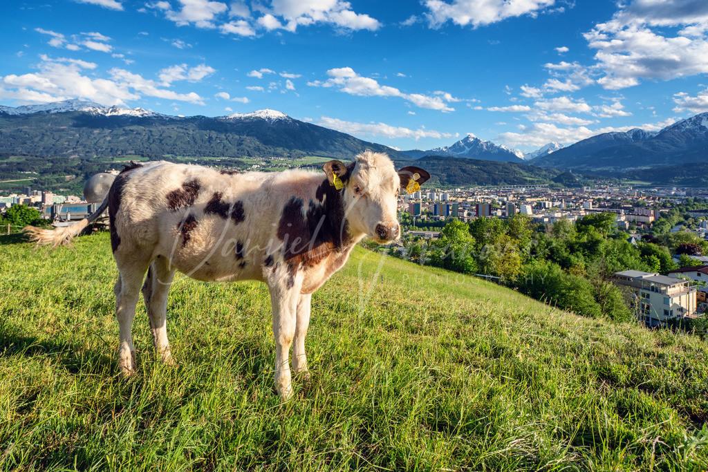 Arzl | Kalb in Arzl mit Blick auf Innsbruck
