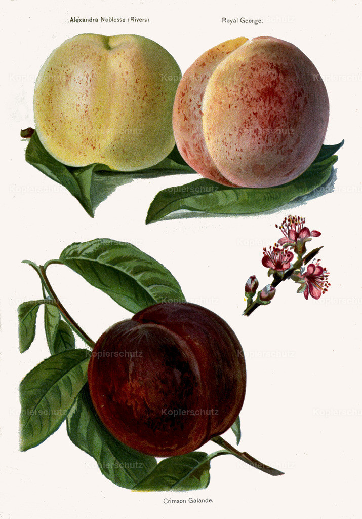 Fruit-Growers-Guide-1890-May-Rivers-Obst-Früchte (20)