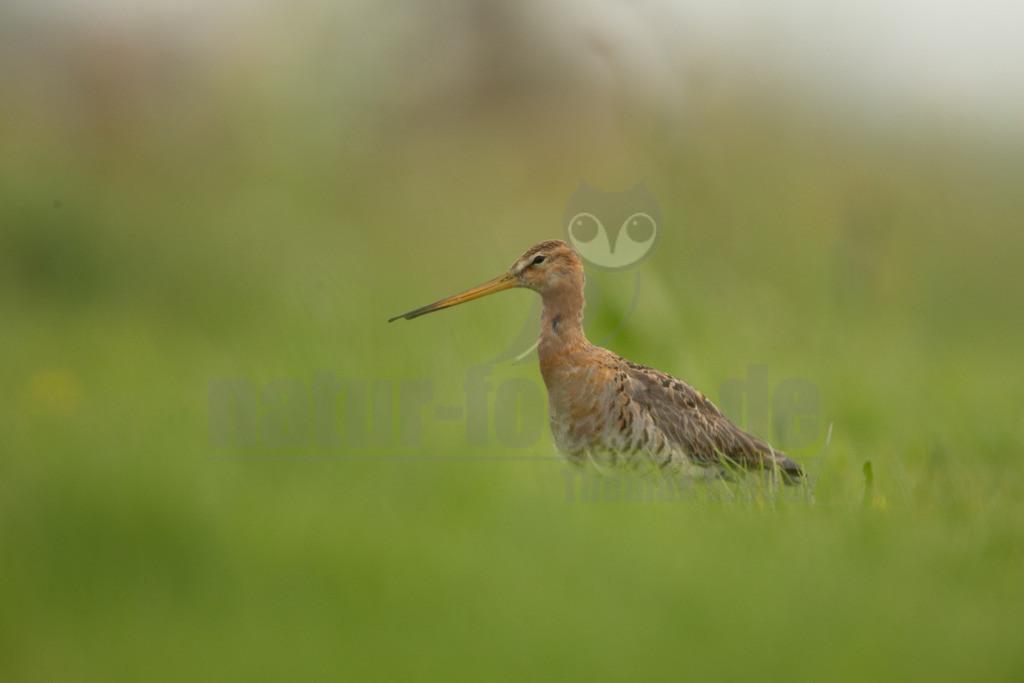 20190426-IMG_1858 |  Die Uferschnepfe ist eine Vogelart aus der Familie der Schnepfenvögel. Uferschnepfen sind Langstreckenzieher und brüten vorwiegend auf Feuchtwiesen.