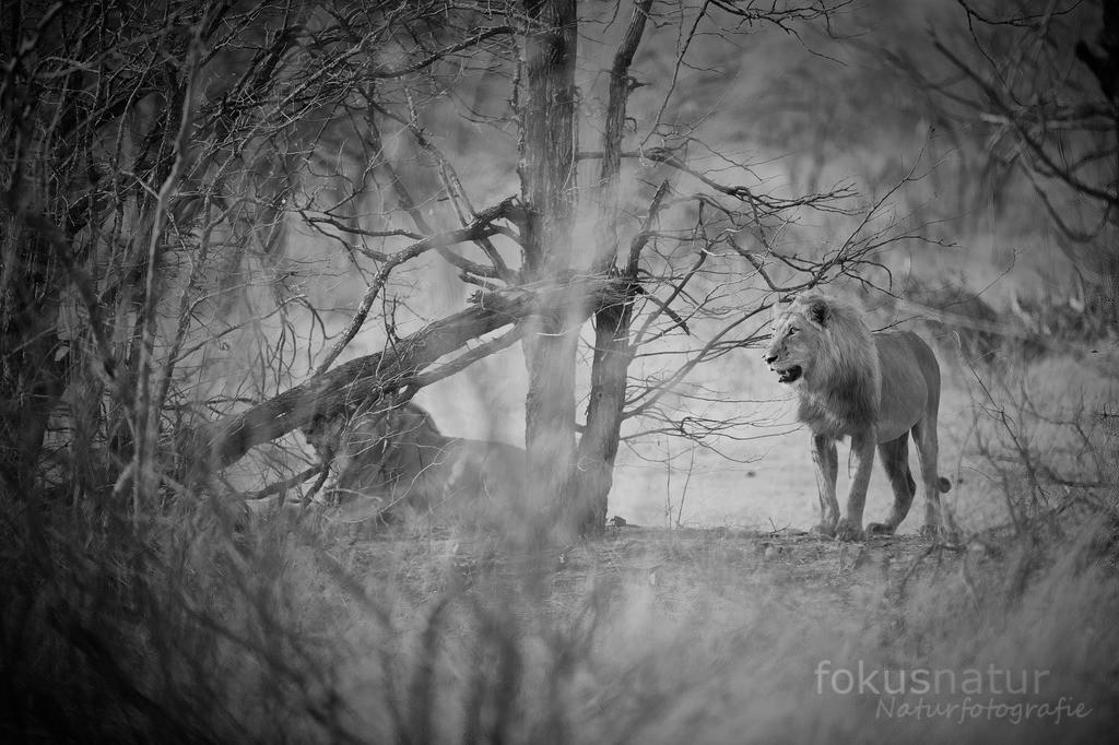 Löwen im Busch | Zwei Löwenbrüder im Busch.