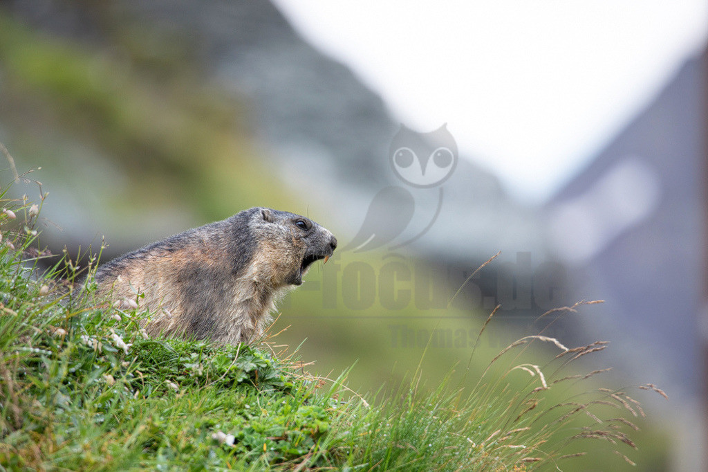 20190819155418 | Das Murmeltier, oder Mankei wie es in Bayern auch genannt wird, ist sicher eines der beliebtesten und bekanntesten Tiere des Alpenraumes. Als Bergwanderer hört man häufig das schrille Warnpfeifen der alpinen Nager. Zu Gesicht bekommt man sie seltener, da sie bei nahender Gefahr sofort in ihre Baue flüchten.