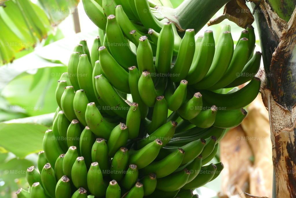 P1000821   Banane fertig zur Ernte