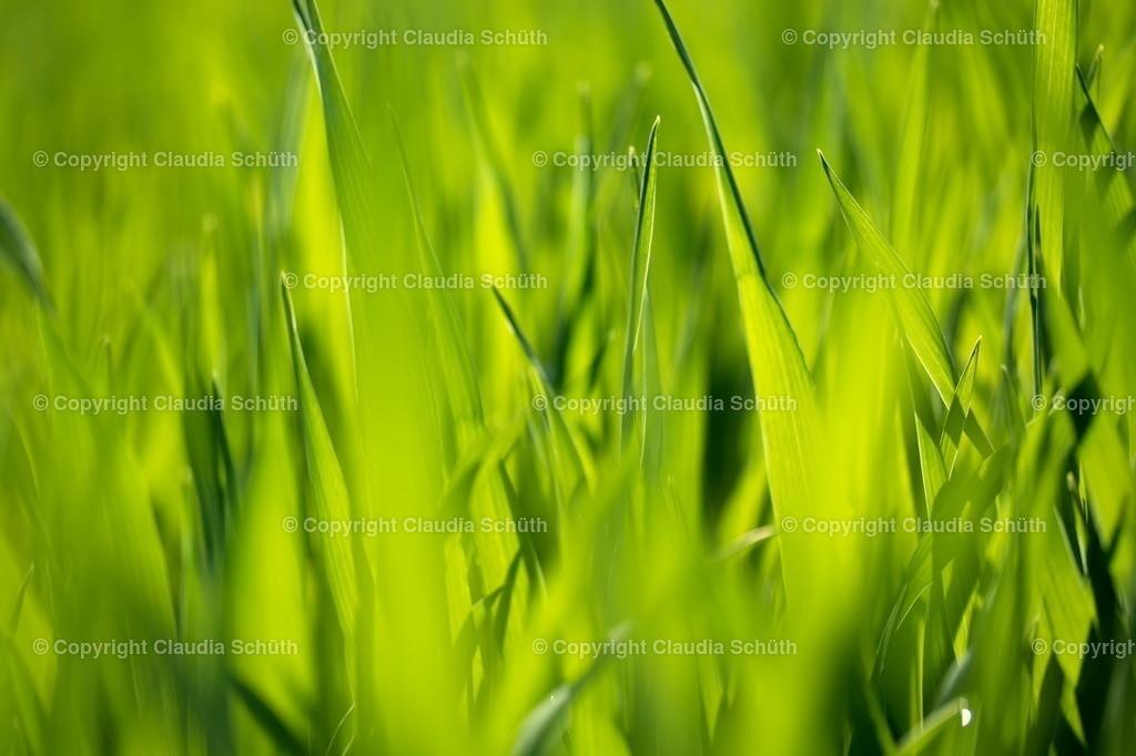 Frischer Getreideaustrieb | Frisch ausgetriebenes Getreide.