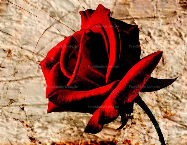 Rosenblüte | Eine rote Rosenblüte
