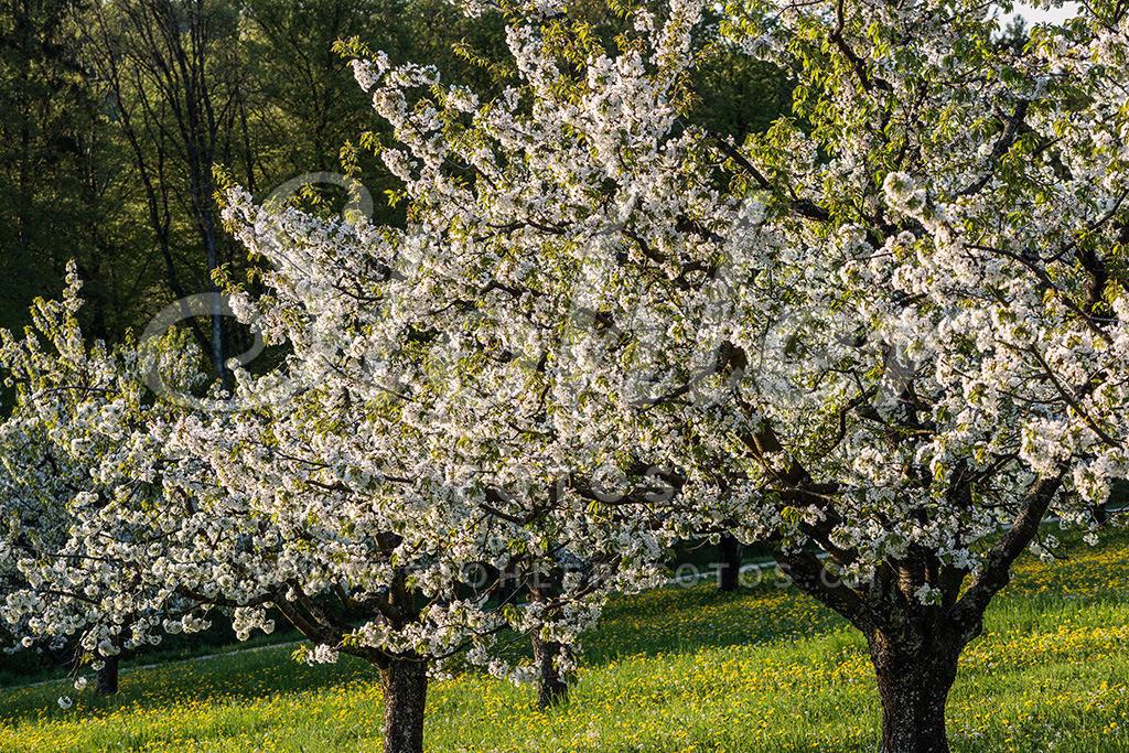 Blühende Kirschbäume, Ziefen (BL) | Blühende Kirschbäume im Bloond, Ziefen im Kanton Baselland.