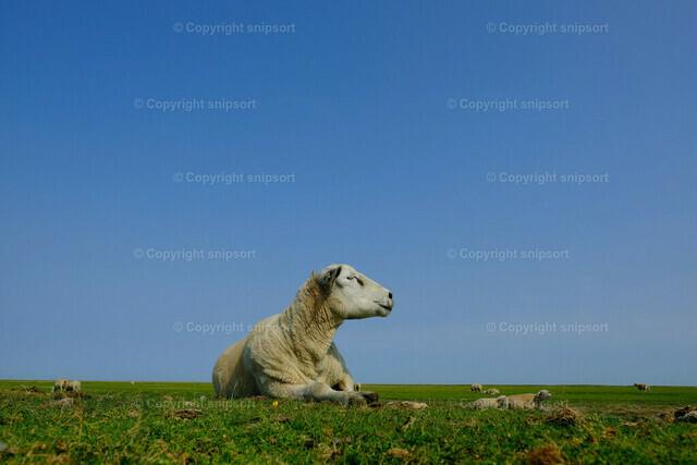 Ein Schaf beim Ausruhen | Ein Schaf auf der Weide beim Relaxen.