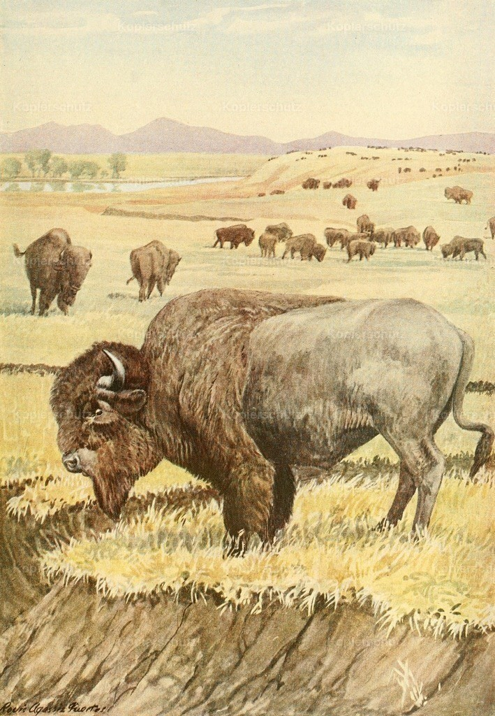 Fuertes_ L.A. (1874-1927) - Wild Animals of N. America 1918 - Buffalo