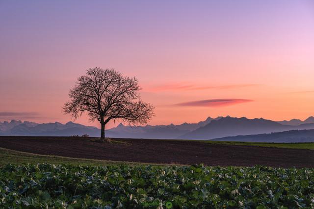 Alpenblick   Blick in die Schweizer Alpen mit solitärem Baum im Abendrot