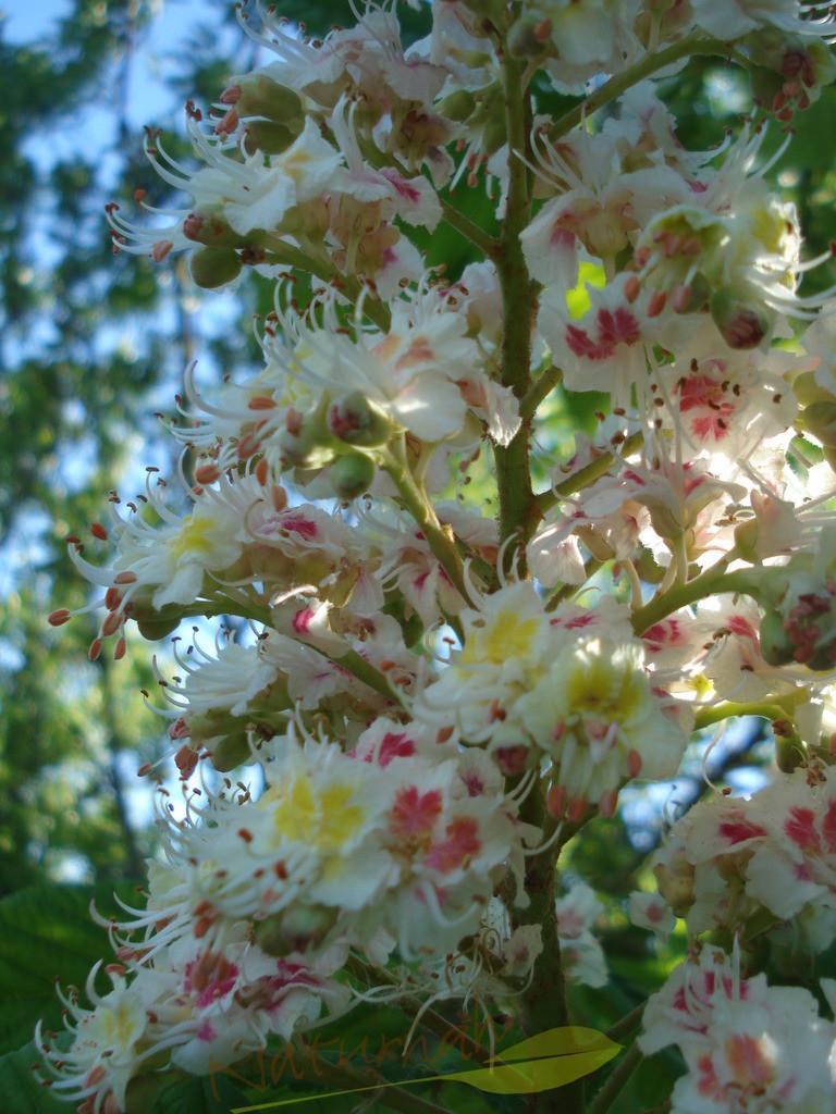 Blütenturm | Esskastanienblüte