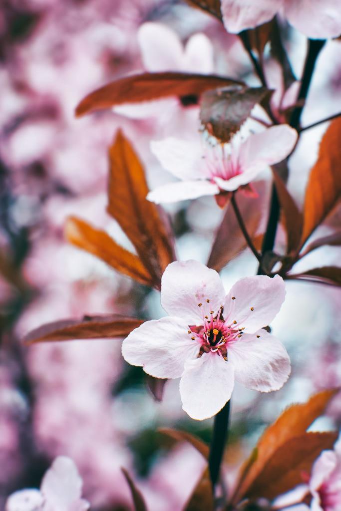 Kirschblüten | Rosa Kirschblüten.