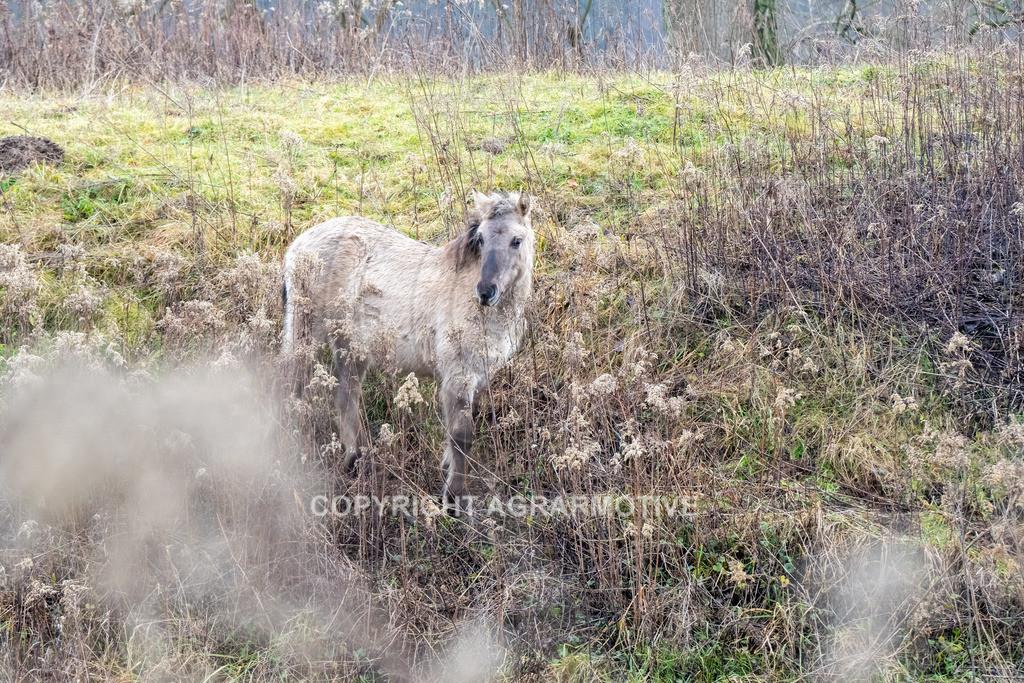 20210110-DSCF5557 | Konik Wildpferde werden in Naturschutzgebiet Emsaue zur Landschaftspflege eingesetzt
