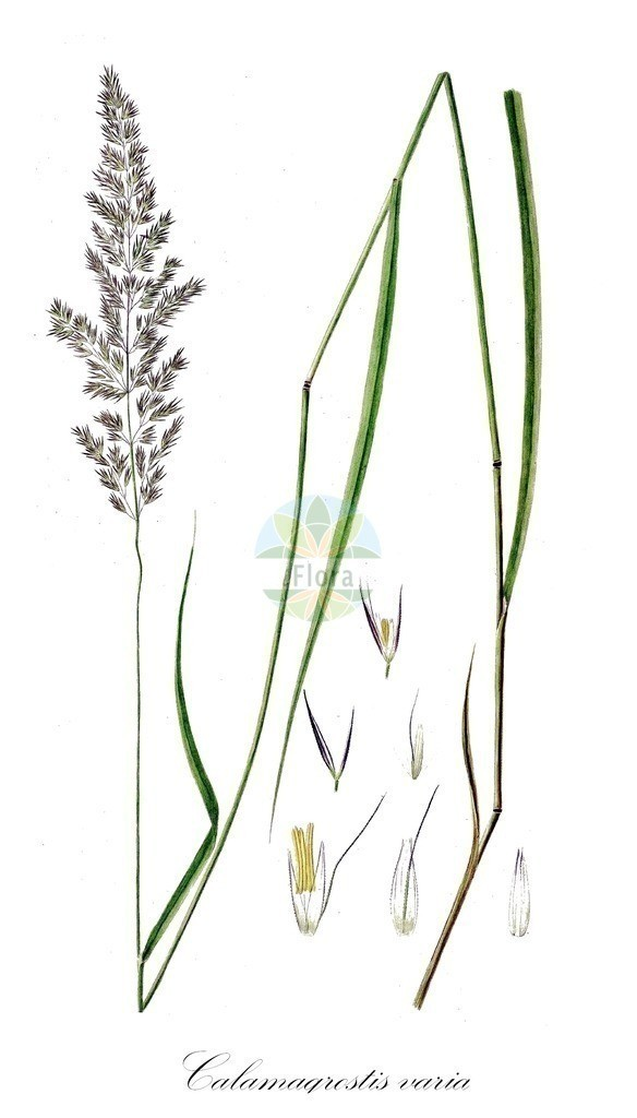 Historical drawing of Calamagrostis varia (Mountain Smallreed)   Historical drawing of Calamagrostis varia (Mountain Smallreed) showing leaf, flower, fruit, seed