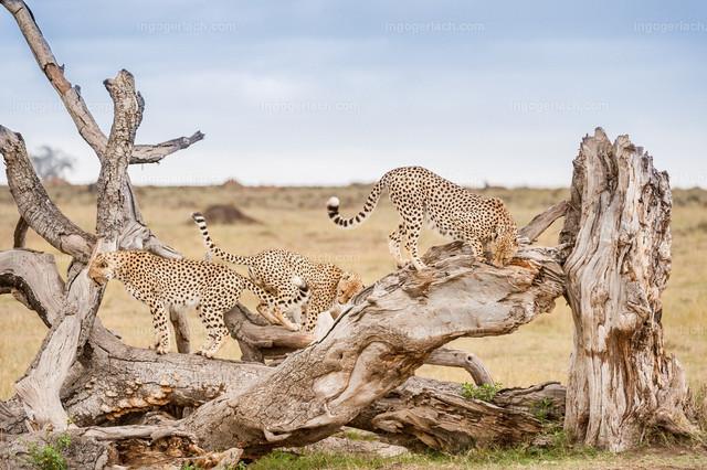 Die drei Brüder der Familie Gepard | Drei Geparden markieren ihr Revier. Afrika. Kenia.