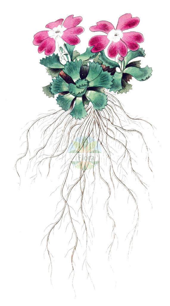 Primula minima (Zwerg-Schluesselblume - Dwarf Primrose)   Historische Abbildung von Primula minima (Zwerg-Schluesselblume - Dwarf Primrose). Das Bild zeigt Blatt, Bluete, Frucht und Same. ---- Historical Drawing of Primula minima (Zwerg-Schluesselblume - Dwarf Primrose).The image is showing leaf, flower, fruit and seed.