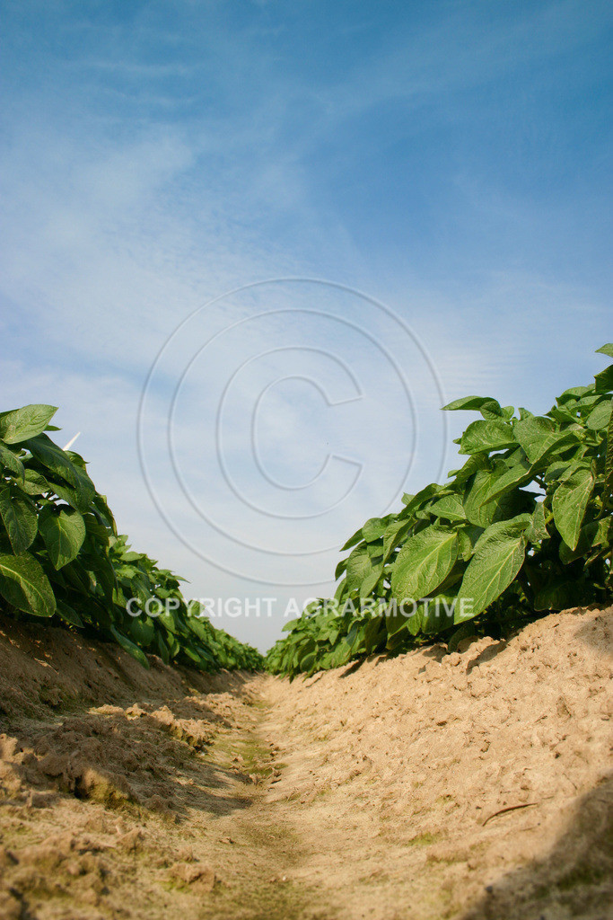 143_4309 | Kartoffelacker - AGRARBILDER