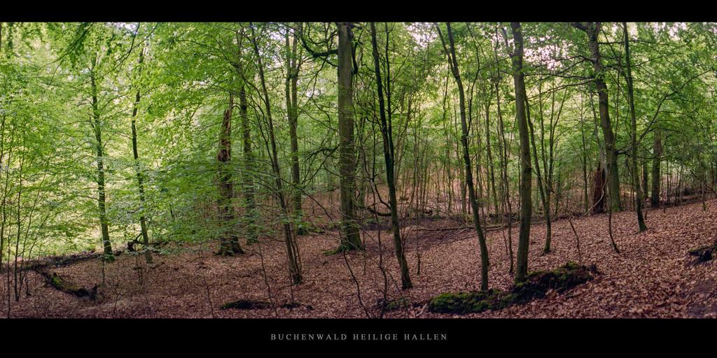 Buchenwald Heilige Hallen   Buchen im Buchenwald Heilige Hallen im Naturpark Feldberger Seenlandschaft