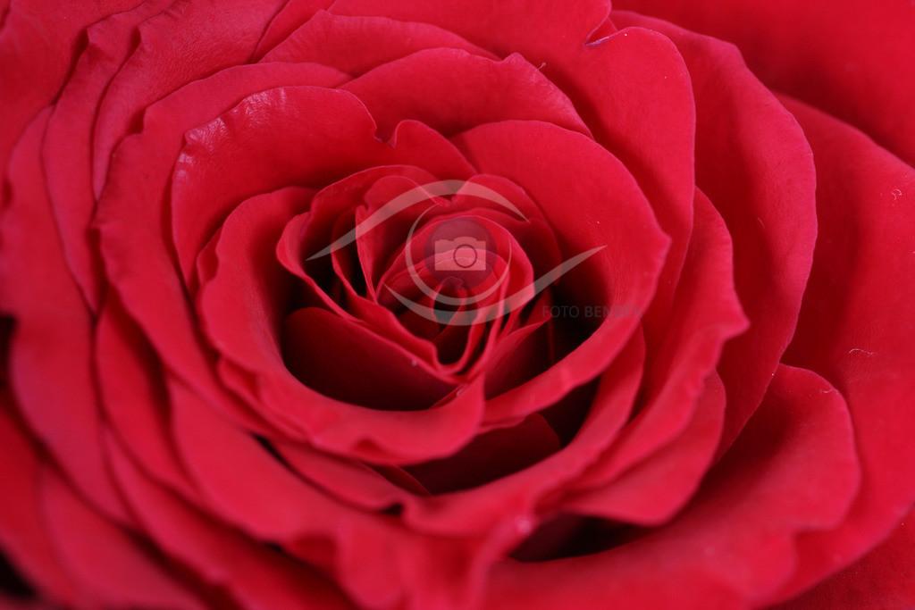 Rose (34)
